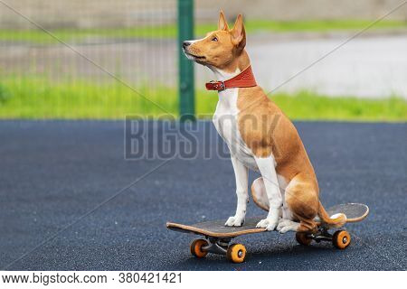 Beautiful African Basenji, Congo Pedigree Skater Dog, Cute Playful Puppy Skating, Riding On Skateboa