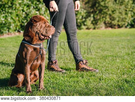 Shar Pei Labrador Mix Dog Is Sitting On The Grass Wearing A Harness While His Owner Gives Him A Walk