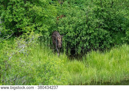 Female Moose (cow) Emerges From The Woods In Grand Teton National Park Near Moose-wilson Road