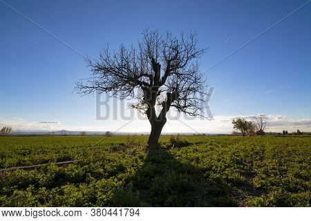 Landscaped Silhouette Of A Lonely Grown Tree In A Green Meadow.