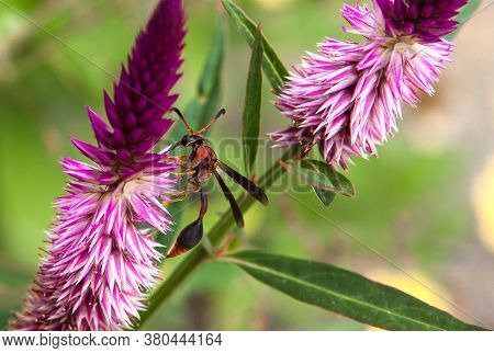 Red Wasp, Polistes Canadensis In Domestic Gardens, Paper Wasp Or Red Wasp