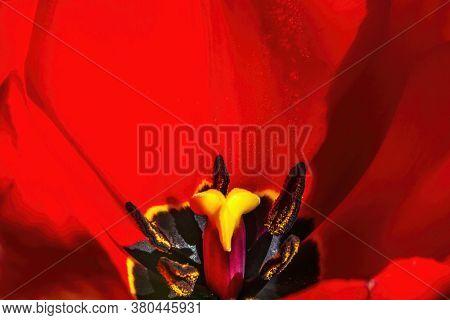 Red Darwin Hybrid Tulip Blooming Macro.  Tulips Are Native To Turkey.