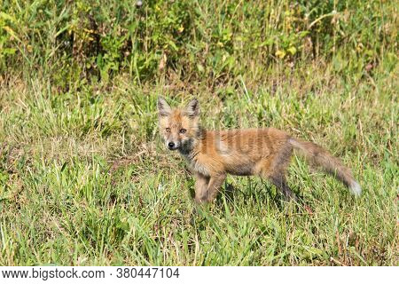 A Small Fox Cub Looks For Food On The Side Of The Road. The Skinny And Dirty Kid Is Hungry. Orphan.