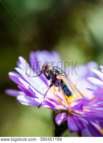 A Blue Blowfly (calliphora Vicina) Posing On A New England Aster (novae-angliae) Flower.