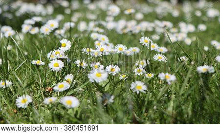 Daisy Flowers Blooming In A Forest Glade.