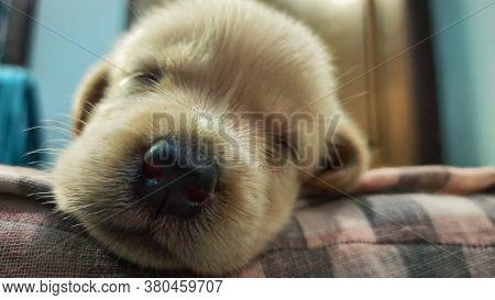 Close Up Shot Of Labrador Puppy's Nose