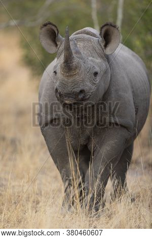 Vertical Portrait Of An Alert Black Rhino Standing Straight In Yellow Dry Grass In Kruger Park South