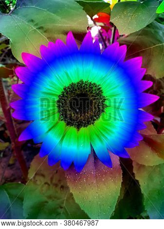 Cobalt Blue Sunflower With Turqoise, Green And Purple, Photographed In Bloemfontein, South Africa