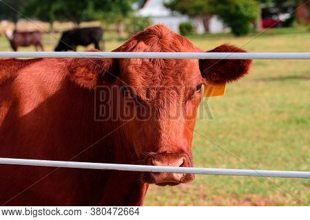 Dairy Cows In A Farm. Close Up Of Dairy Cows. Angus Cattle Farming