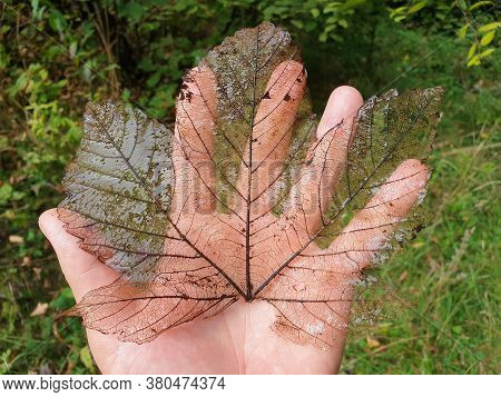 Decomposing Canadian Maple Leaf In Palm Of Hand. Transparent Lace Structure Pattern Of Dead Maple Le