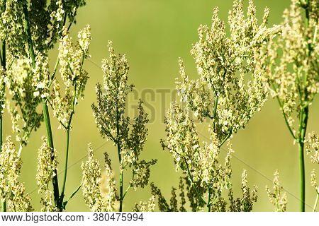 Rumex Acetosa Common Sorrel, Garden Sorrel, Spinach Dock Or Narrow-leaved Dock In Bloom. Floral Back