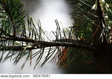 Branch Of A Young Pine In The Forest, In Summer. Collecting Pine Cones For Pine Jam