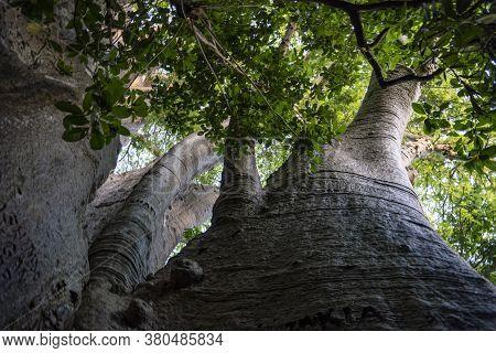 Bottom View On A Crown Of Giant Baobab Tree, The Bigest Baobab In East Africa. Pemba, Zanzibar, Tanz