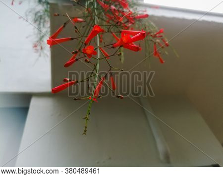 Red Flowers Hanging From The Roof Top.the Flowers Are Numerous And They Are Long.they Are Jointed To