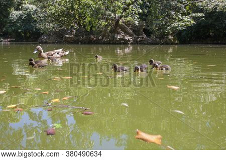 Duck Family At Main Pond Of Campo Grande, Large Public Park Located In The Heart Of The City Of Vall