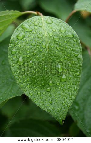 The Green Leaf
