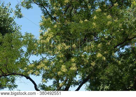 Florescence Of Sophora Japonica Tree Against Blue Sky In July