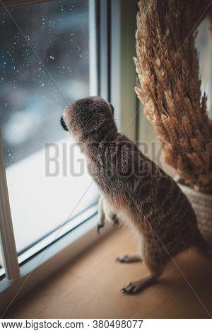 The Meerkat Or Suricate Cub In Front Of Window