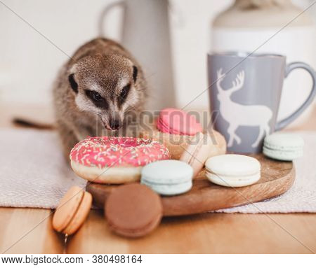 The Meerkat Or Suricate Eating Sweets And Donuts