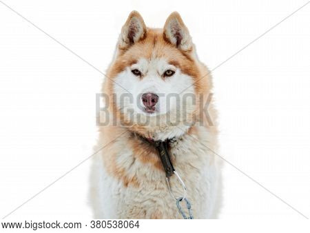 Husky Sled Dog Face, Isolated. Siberian Husky Dog Breed White Background, Muzzle Portrait. Isolated
