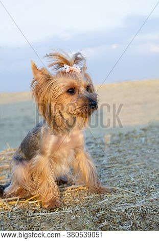 Small Dog Yorkshire Terrier Sitting On Hay Roll In Summer Day. Pet On The Farm Outdoors