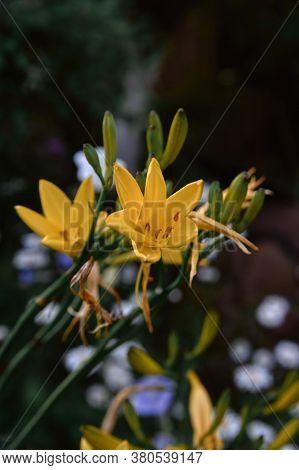 Flower Yellow Daylily, Bush, Evening Light Cloudy