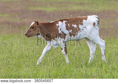 Frisian Red-and-white Dutch Calf In A Summery Green Meadow