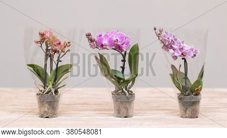 Small Moth Orchids, Phalaenopsis With Isolated Background