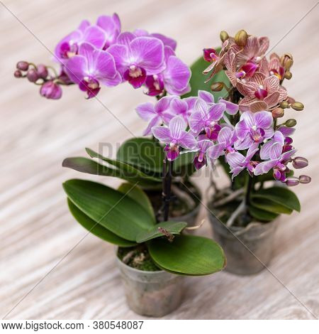Small Moth Orchids, Phalaenopsis Close Up With Isolated Background