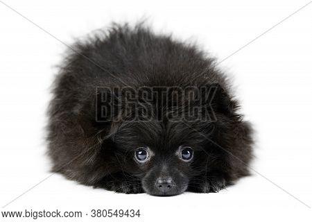 Black Pomeranian Puppy Spitz, Isolated. Cute Pomeranian, White Background. Family Friendly Tiny Spit