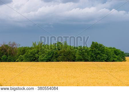 Golden Wheat Field With Trees Against A Stormy Sky With White Clouds