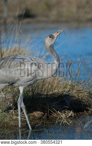 Juvenile Common Crane Drinking Water In A Lagoon.