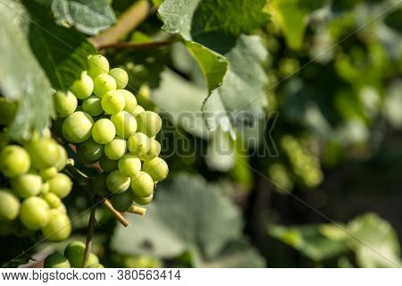 Green, Unripe, Young Wine Grapes In Vineyard In Czech Republic ( South Moravia Region ). Summer Morn