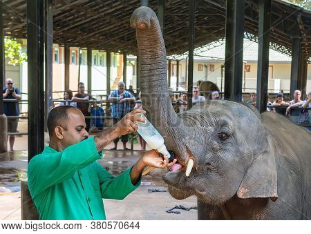 Baby Elephant. A Man In A Green Shirt Feeds A Baby Elephant With Milk From A Bottle With A Pacifier.