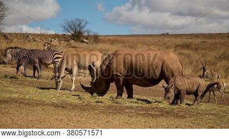 Mother And Baby Rhinos, Zebras And Springboks, Wild Animal Eat Grass In Their Natural Habitat. Rhino