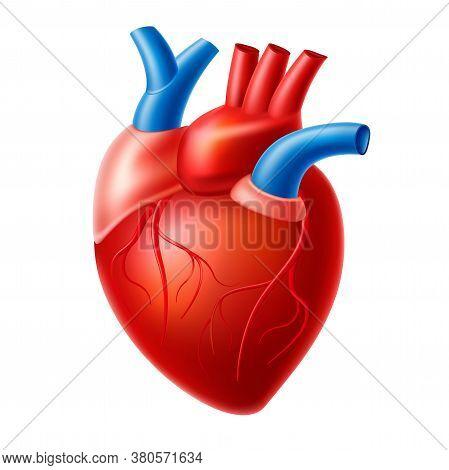 Vector Realistic Heart Blood Pump Organ With Veins