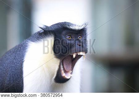 Diana Monkey, Cercopithecus Diana, A Dark Backround, Scream, Crescent-shaped Browband, Ruff And Bear