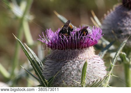 Bees And Bumblebees Collect Nectar From Flowers