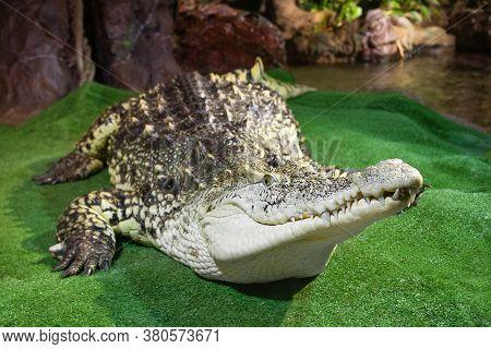 Nile Crocodile On Green Surface Near The Water. Muzzle Portrait