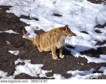 Old Lioness On A Winter Day. Wild Animal