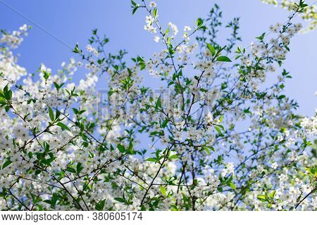 White Flowers Blossom Cherry Tree Bottom View, Orchard Blooming In Spring. Backdrop Wallpaper Backgr
