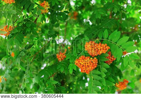 Clusters Of Rowanberries. Red Mountain Ash Growing On The Branches Of A Tree. Natural Environmental