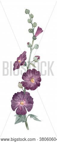 Beautiful Image With Watercolor Summer Mallow Flower Painting. Stock Illustration.