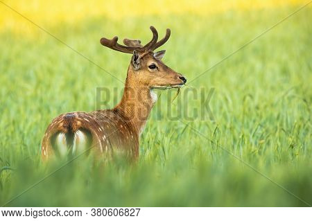 Magnificent Fallow Deer Stag Standing In Grain In Summer Nature.