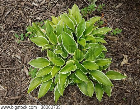 Green Hosta Plant In Mulch With Clover Weeds