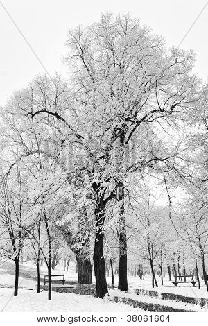 Snow covered trees after storm