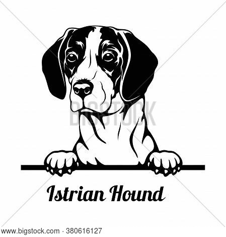 Peeking Dog - Istrian Hound Breed - Head Isolated On White