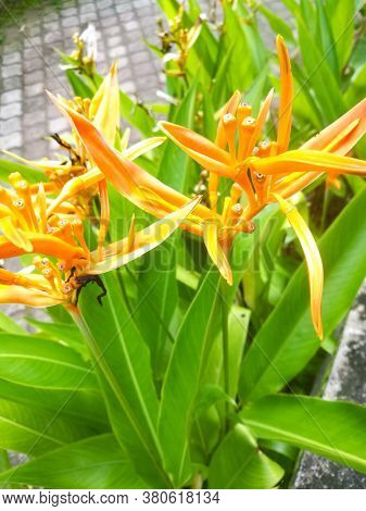 Strelitzias A Bird Of Paradise Against A Wall Of Yellow Orange Color.they Are Beautiful With Many St