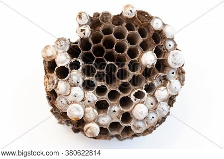 Wasp Nest With Larva Isolated On White Background - Asian Giant Hornet Or Japanese Giant Hornet (ves