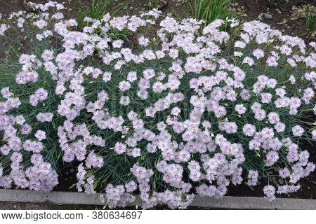 Florescence Of Dianthus Deltoides In The Garden In May